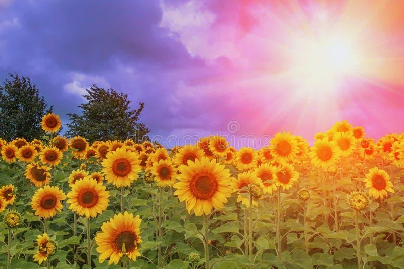 Gebied van bloeiende zonnebloemen op een achtergrondzon royalty-vrije stock afbeelding