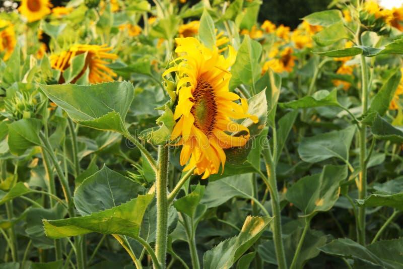 Gebied van bloeiende zonnebloemen op een achtergrondzonsondergang Een bloem van een zonnebloemclose-up stock afbeeldingen