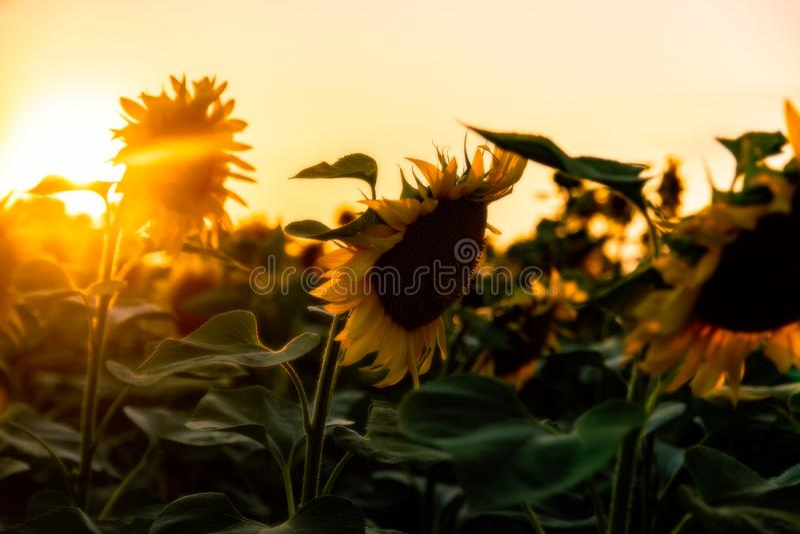 Gebied van bloeiende zonnebloemen op een achtergrondzonsondergang stock afbeelding