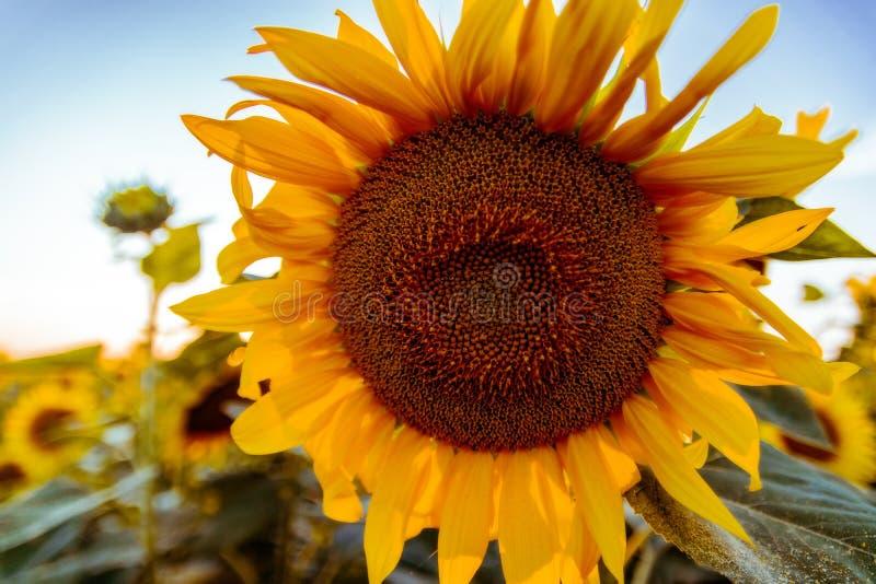 Gebied van bloeiende zonnebloemen op een achtergrondzonsondergang royalty-vrije stock foto