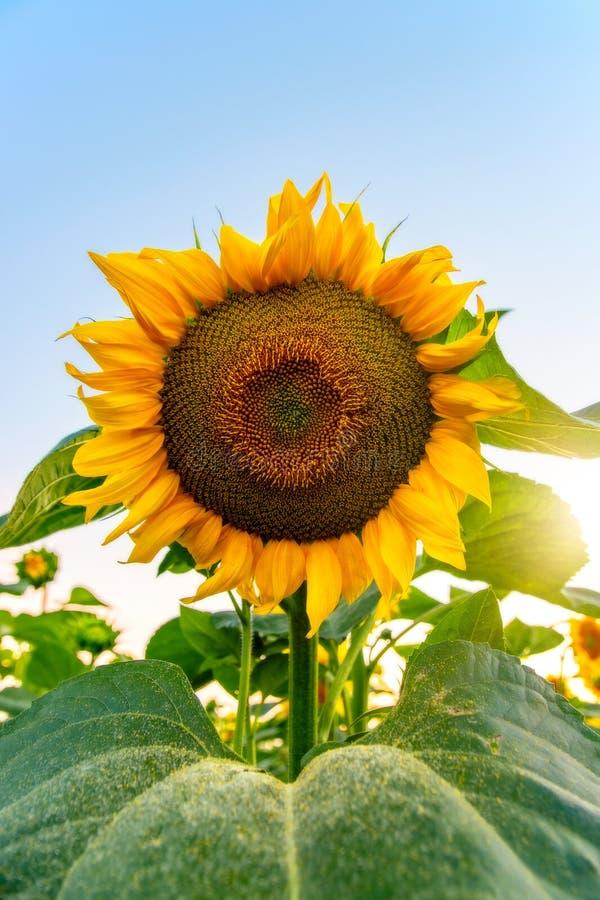 Gebied van bloeiende zonnebloemen op een achtergrondzonsondergang stock foto's