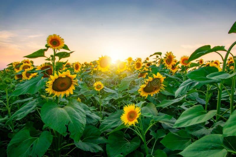 Gebied van bloeiende zonnebloemen op een achtergrondzonsondergang royalty-vrije stock afbeeldingen