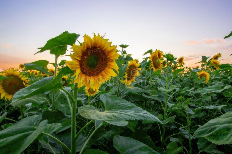 Gebied van bloeiende zonnebloemen op een achtergrondzonsondergang stock fotografie