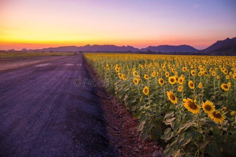 Gebied van bloeiende zonnebloemen op een achtergrondzonsondergang of schemeringtijd royalty-vrije stock afbeelding