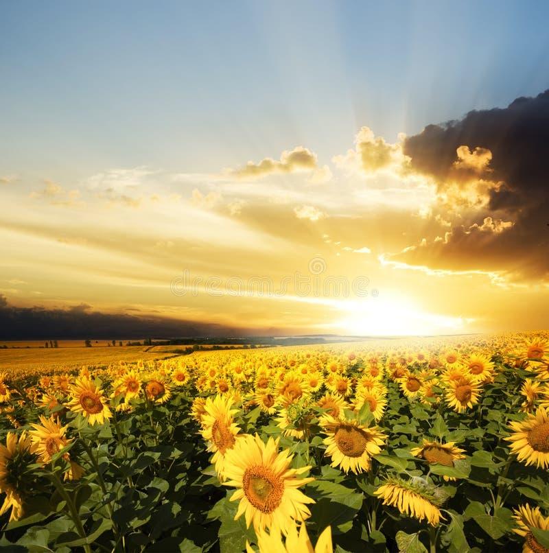 Gebied van bloemenzonnebloemen royalty-vrije stock afbeelding