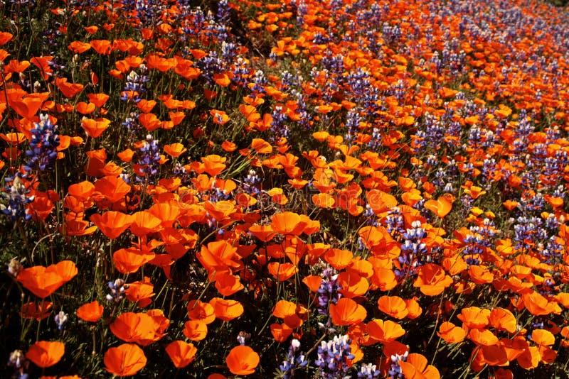 Gebied van Californiat-wildflowers royalty-vrije stock foto's