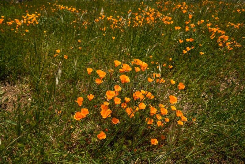 Gebied van de Bloemen van de Papaver stock afbeelding