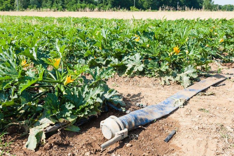 Gebied van de installaties van de courgettecourgette vóór de oogst stock afbeelding