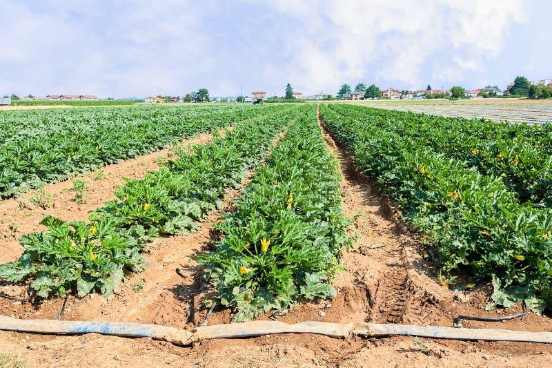 Gebied van de installaties van de courgettecourgette vóór de oogst stock afbeeldingen