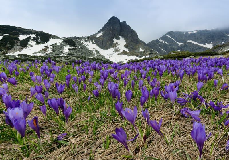 Gebied van de krokussen van de de lentetijd en Haramiya-piek in de Rila-Bergen, Bulgarije stock foto