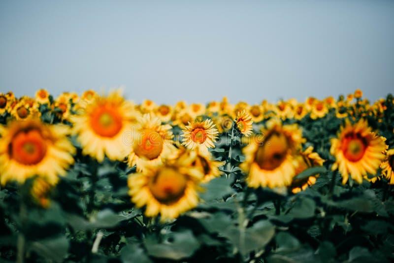 Gebied van de zomer het gele zonnebloemen met vele bloemen onder blauwe hemel royalty-vrije stock afbeelding