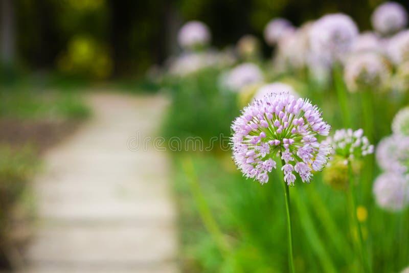 Gebied van de zomer roze bloemen in het park, groene weg royalty-vrije stock afbeeldingen