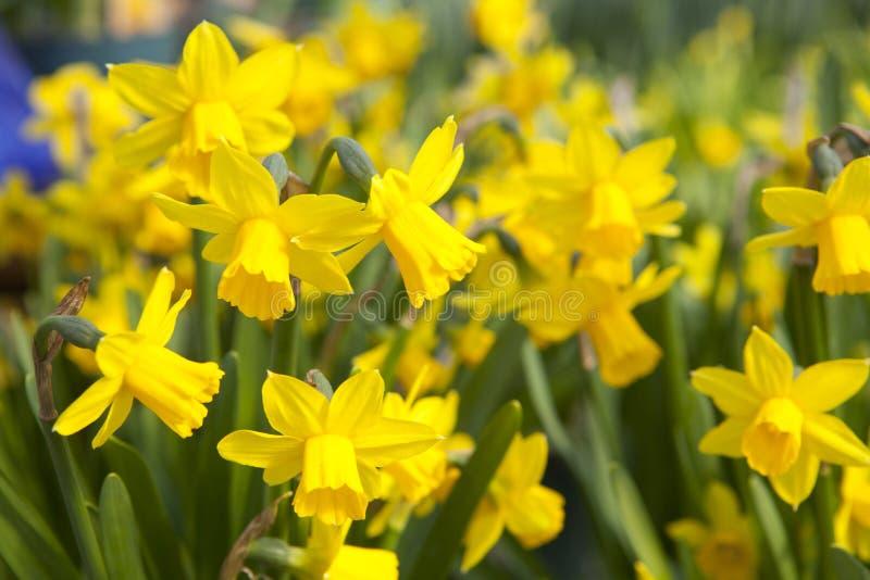 Gebied van gele gele narcissen - narcissenbloemen stock fotografie