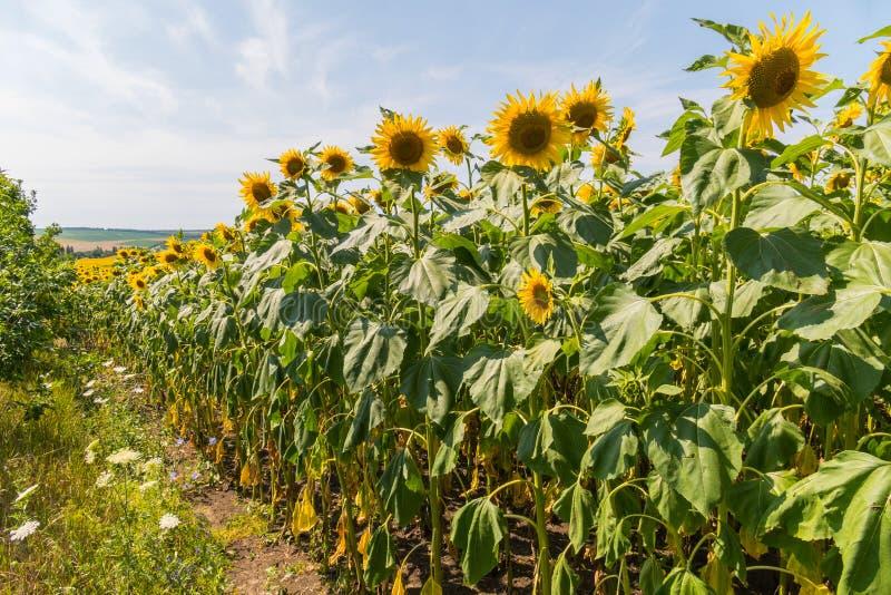 Gebied van gele zonnebloemen onder een duidelijke blauwe hemel royalty-vrije stock foto