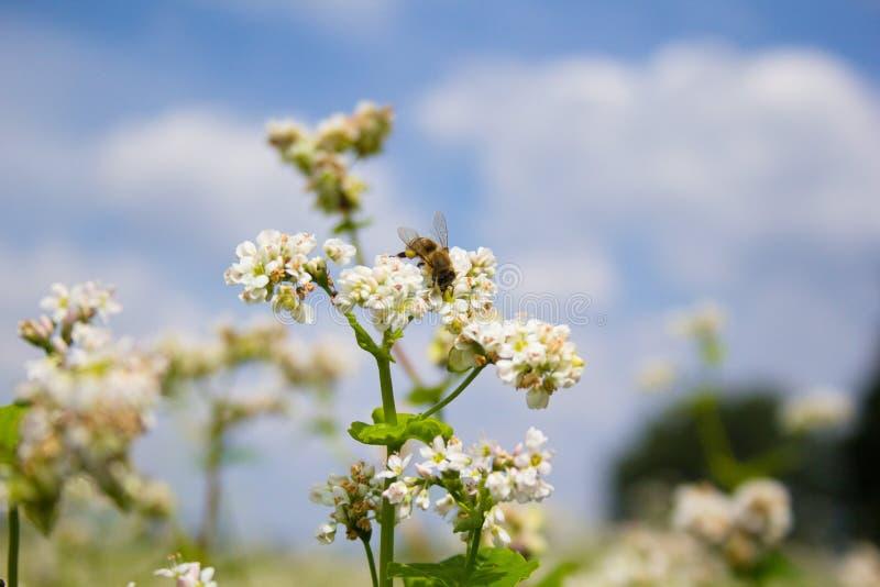 Gebied van gemeenschappelijk boekweit Landschap met gecultiveerde gewasseninstallatie, honingsbloem esculentum fagopyrum Bijen he stock foto's