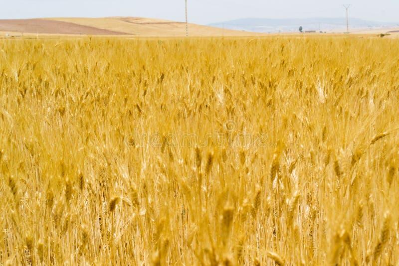 Gebied van gouden rijpe tarweoren stock fotografie