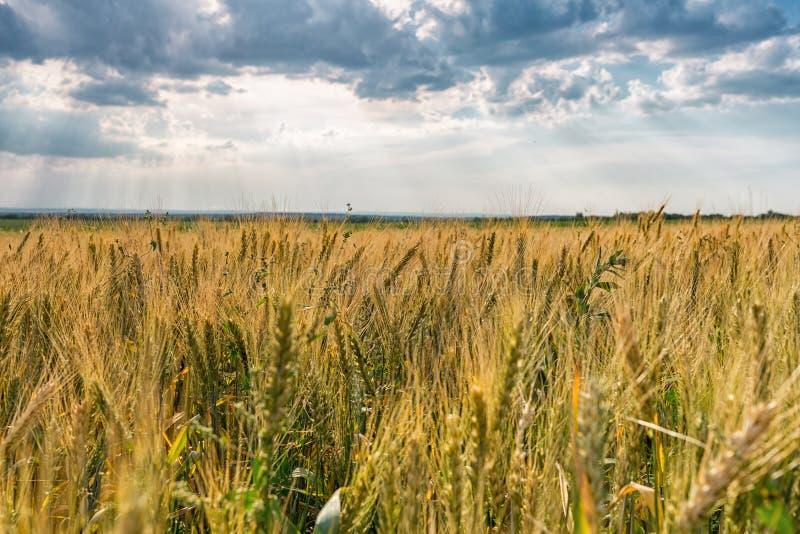 Gebied van Gouden Tarwe Blauwe hemel met luchtige wolken en stralen van de het plaatsen zon Landbouw en de Landbouwconcept royalty-vrije stock foto's