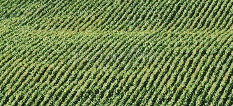 Gebied van graan stock afbeelding