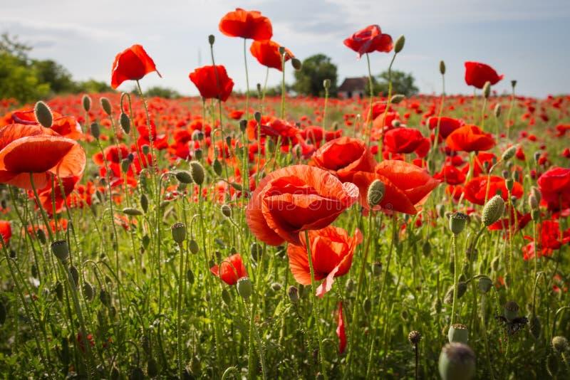 Gebied van Graan Poppy Flowers stock afbeelding