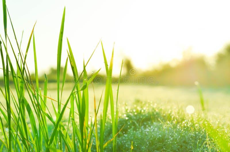 Gebied van gras en zon in ochtend stock afbeelding