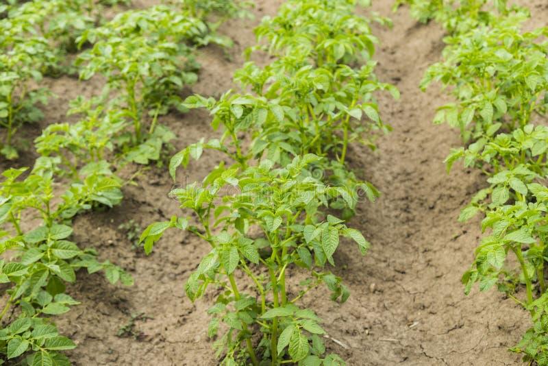 Gebied van groene aardappelstruiken royalty-vrije stock afbeeldingen