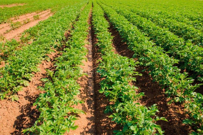 Gebied van groene aardappelstruiken Een jonge aardappelplant groeit op grond Aardappelstruik in de tuin stock afbeeldingen