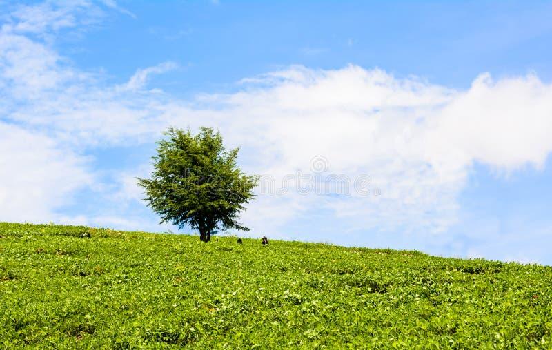 Gebied van groene gras en bomen bij blauwe hemel royalty-vrije stock afbeeldingen