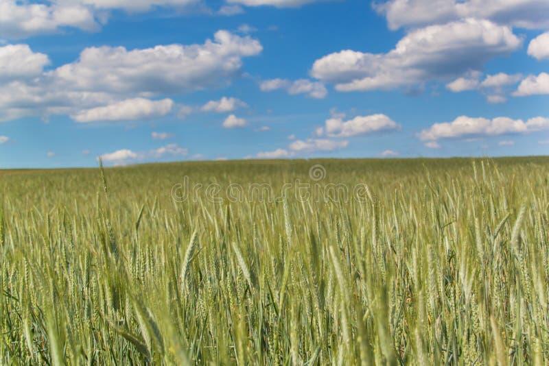 Gebied van groene korrel tegen de achtergrond van een blauwe hemel met wolken De zomerdag bij het landbouwbedrijf stock afbeeldingen