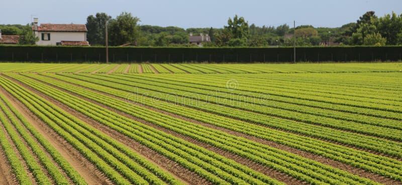 Gebied van groene sla dat op zandige grond in de zomer wordt gekweekt royalty-vrije stock afbeeldingen