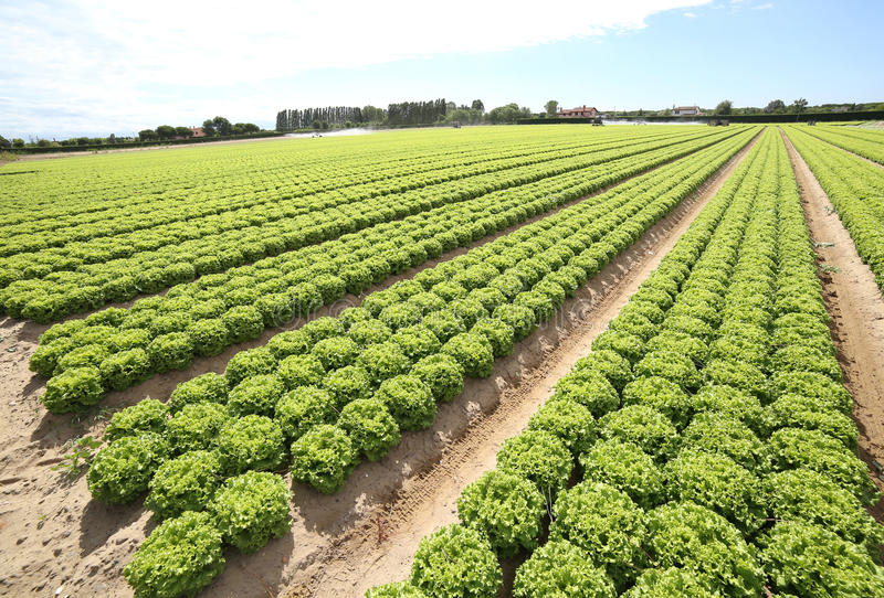 Gebied van groene sla dat op zandige grond in de zomer wordt gekweekt stock afbeeldingen