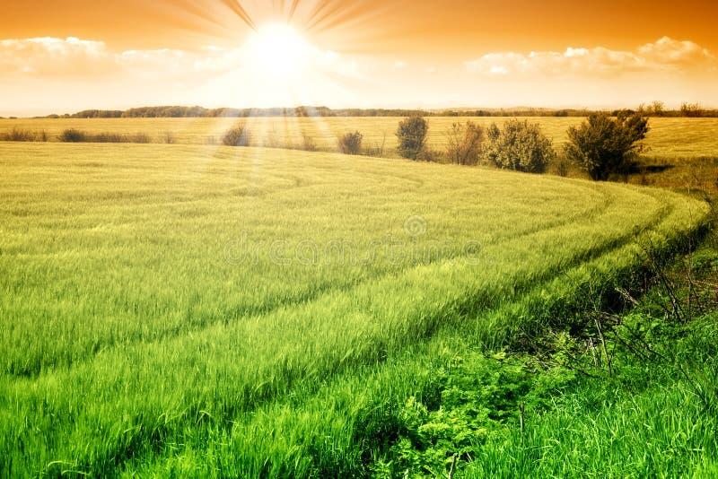 Gebied van groene verse korrel en zonnige hemel stock afbeeldingen