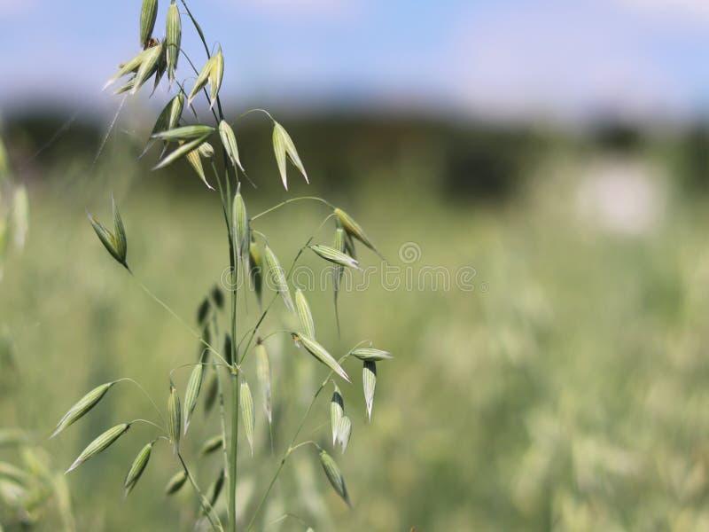 Gebied van haver Rijping van de toekomstige oogst Agrarische sector van de landbouwindustrie Installatielandbouwbedrijf Het kweke royalty-vrije stock foto