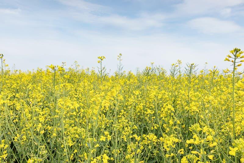 Gebied van helder geel raapzaad in de lente De tik van het raapzaad oliehoudende zaad royalty-vrije stock afbeelding