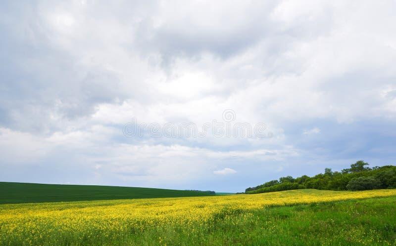 Gebied van helder geel raapzaad in de lente Raapzaadbrassica de verkrachting van het napus oliehoudende zaad stock afbeelding