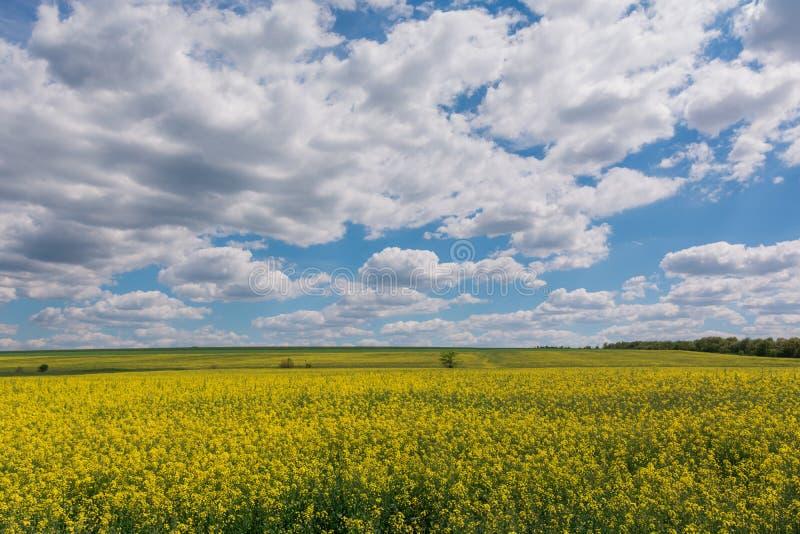 Gebied van helder geel raapzaad in de lente Raapzaadbrassica de verkrachting van het napus oliehoudende zaad stock afbeeldingen