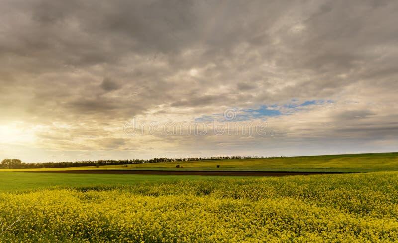 Gebied van helder geel raapzaad in de lente De verkrachting van het raapzaad oliehoudende zaad stock foto's