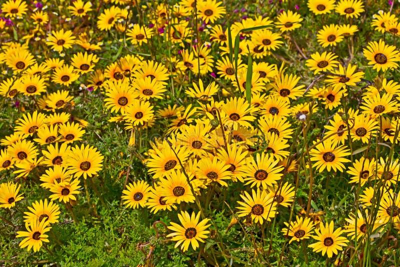 Gebied van heldere gele de lentewildflowers royalty-vrije stock foto's