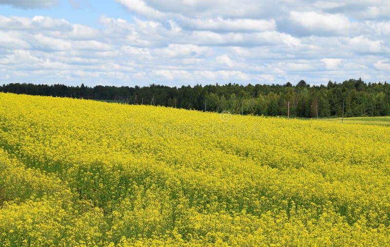 Gebied van heldere gele raapzaadbrassica napus in de zomer stock fotografie