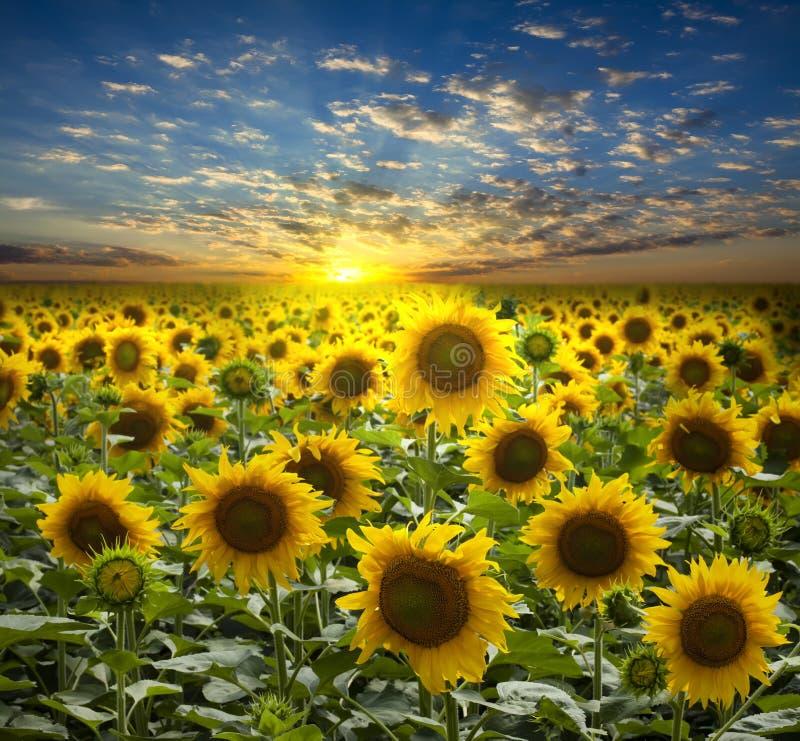 Gebied van het bloeien zonnebloemen stock afbeeldingen