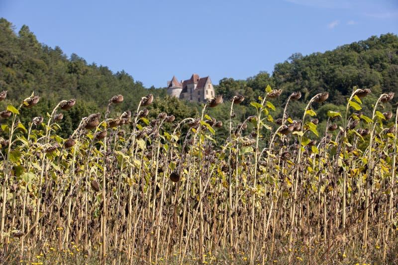 Gebied van het drogen van zonnebloemen in vallei van Dordogne-rivier frankrijk royalty-vrije stock afbeeldingen