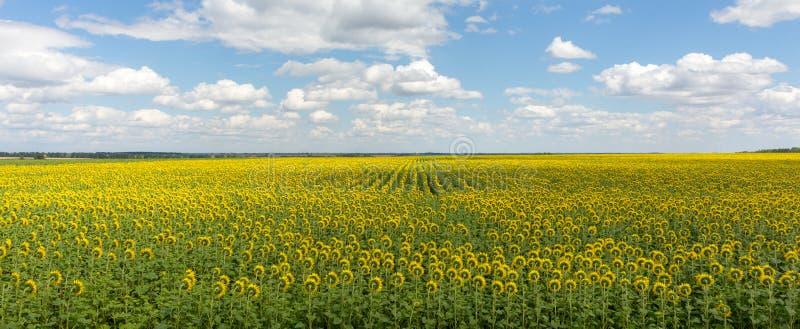 Gebied van het landschap van het zonnebloemenpanorama Heldere bloeiende zonnebloemenweide tegen blauwe hemel met wolken Zonnig de royalty-vrije stock foto's
