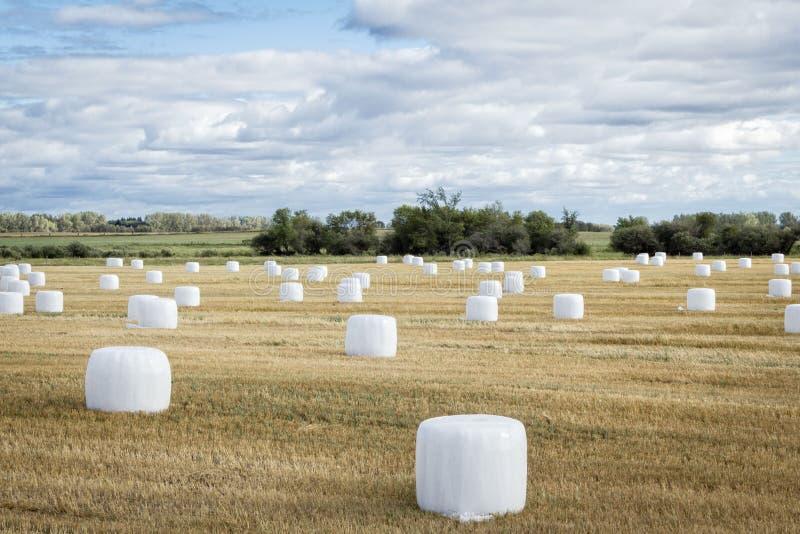 Gebied van hooibalen in wit plastiek in de zomertijd die worden verpakt royalty-vrije stock afbeeldingen
