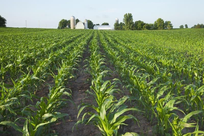 Gebied van jong graan met landbouwbedrijf op achtergrond stock foto