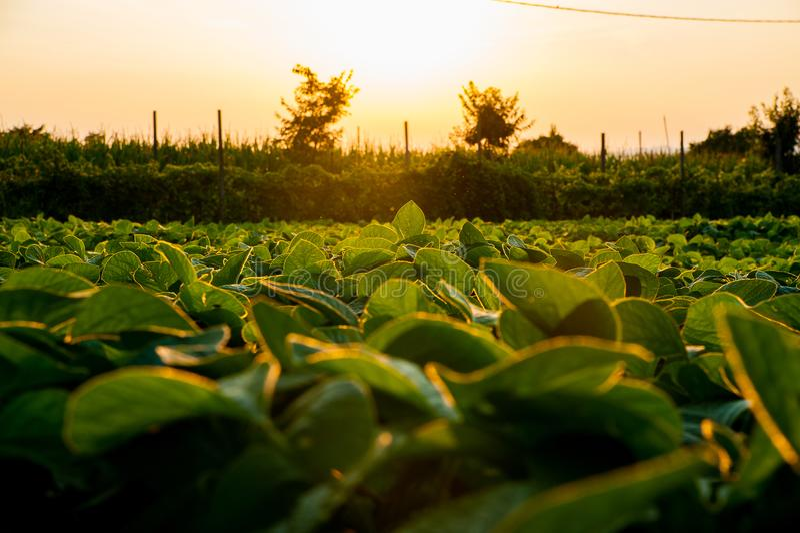Gebied van jonge die sojainstallaties bij zonsondergang van onderaan met mooi warm licht in het Italiaans wordt gezien platteland royalty-vrije stock foto's