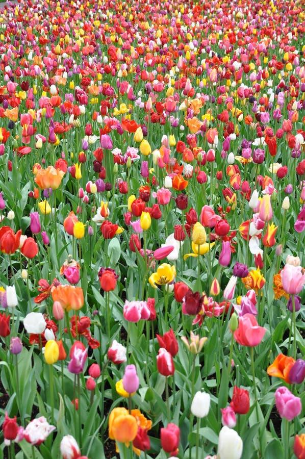 Gebied van kleurrijke tulpen in Holland royalty-vrije stock foto's