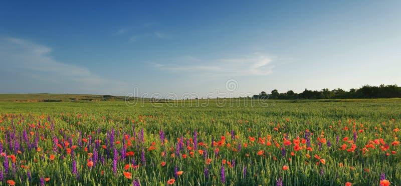 Gebied van lavendel, tarwe en papavers stock foto