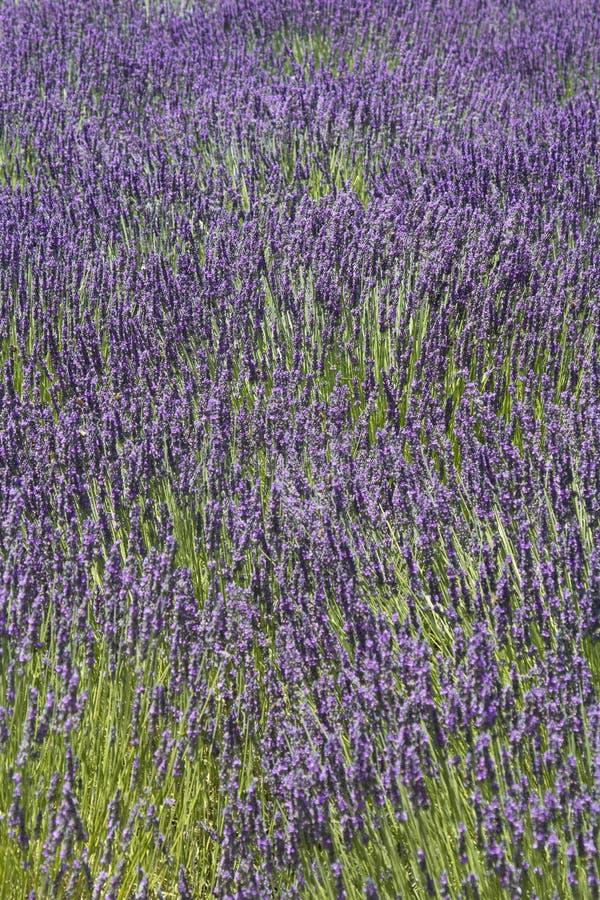 Gebied van lavendelbloemen royalty-vrije stock foto