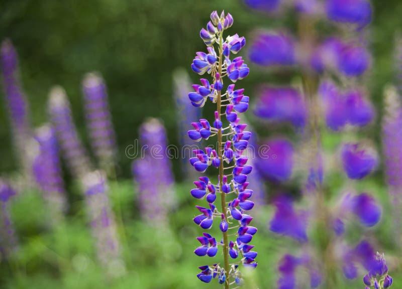 Gebied van Lupinus dichtbij bos in zonnige de zomerdag royalty-vrije stock foto's