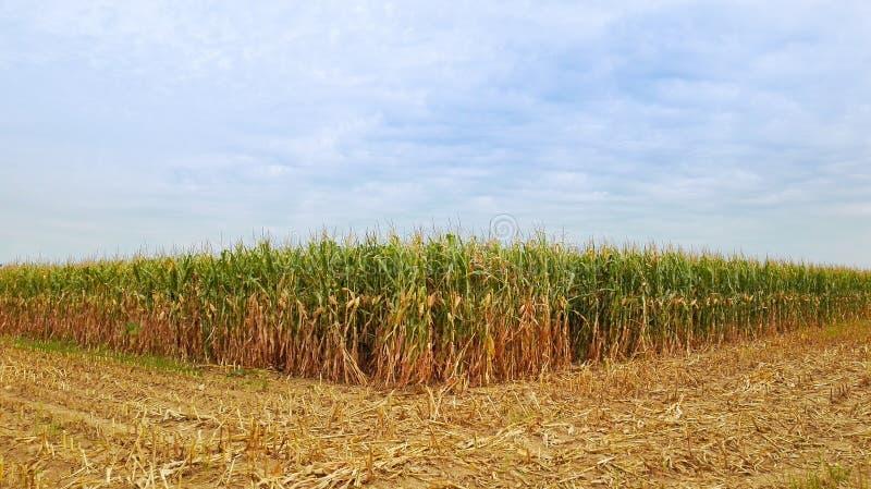 Gebied van maïskolven van rijp graan royalty-vrije stock afbeeldingen