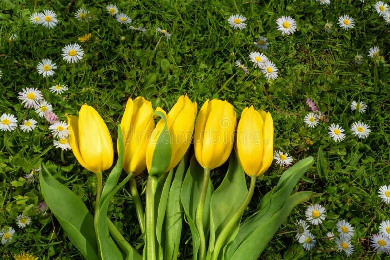 Gebied van madeliefjes en gele tulpen in een de lente zonnige dag royalty-vrije stock foto's
